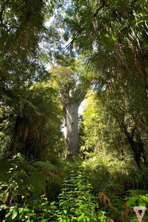 kauri forêt northland